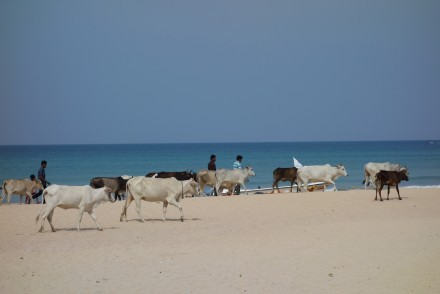 Cows on the beach, Nilaveli, Sri Lanka