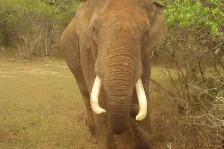 Tusker, Yala West National Park, Sri Lanka