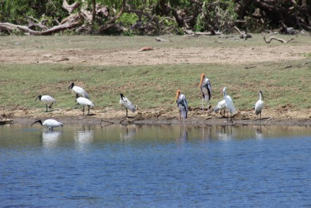 Sacred Ibises and Painted Storks around a water hole, Yala National Park, Sri Lanka