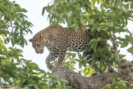 Leopard in a tree, Yala National Park, Sri Lanka (courtesy of Phil & Dee Hughes)