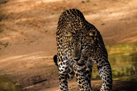 Leopard seen in Yala National Park, Sri Lanka (photo courtesy of Martin Blow)