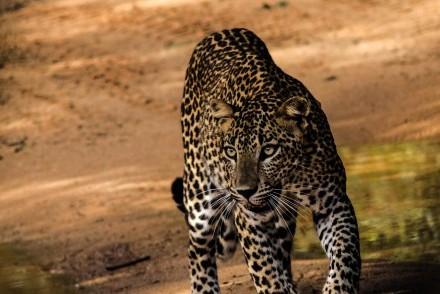 Leopard seen in Yala National Park, Sri Lanka (photo courtesy of Martin Blow)