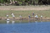 Sacred Ibises and Painted Storks around a water hole, Yala National Park, Sri Lanka