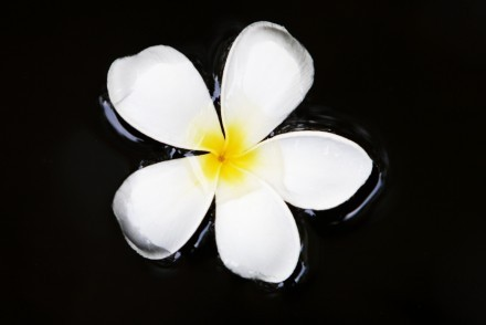 Frangipani flower floating on water, Sri Lanka