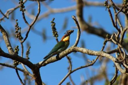 Chestnut-headed Bee-eater, Sri Lanka
