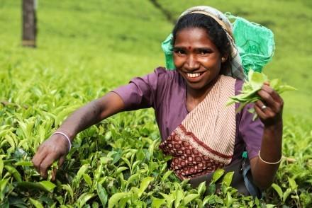 Tea picker, Nuwara Eliya, Hill Country, Sri Lanka