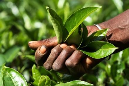 Tea leaves freshly picked, Sri Lanka