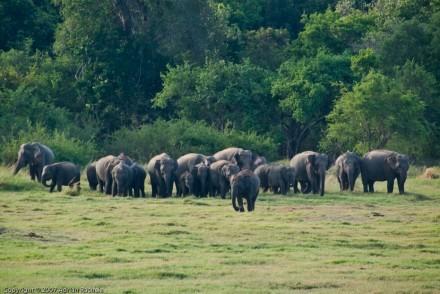 Herd of elephants in the wild, Sri Lanka