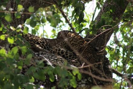Sleeping leopard up a tree, Sri Lanka