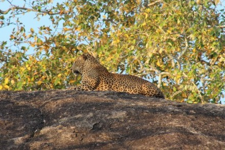 Leopard atop a rock at dawn, Yala West National Park, Sri Lanka
