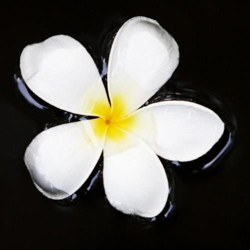 Frangipani flower, Sri Lanka