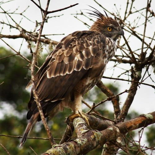 Crested Hawk Eagle, Bundala National Park, Sri Lanka