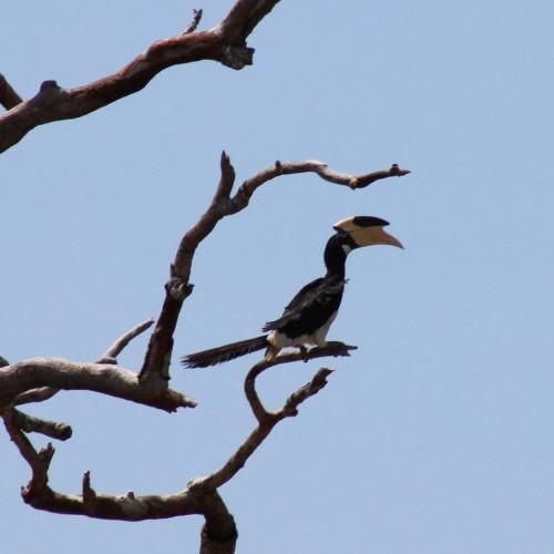Malabar Pied Hornbill, Bundala National Park, Sri Lanka