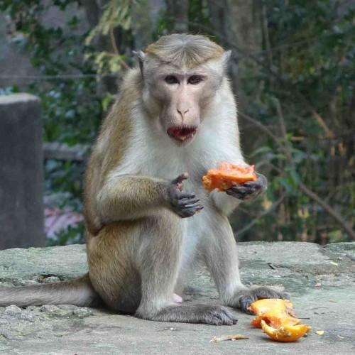 Monkey at the temple, East Coast, Sri Lanka