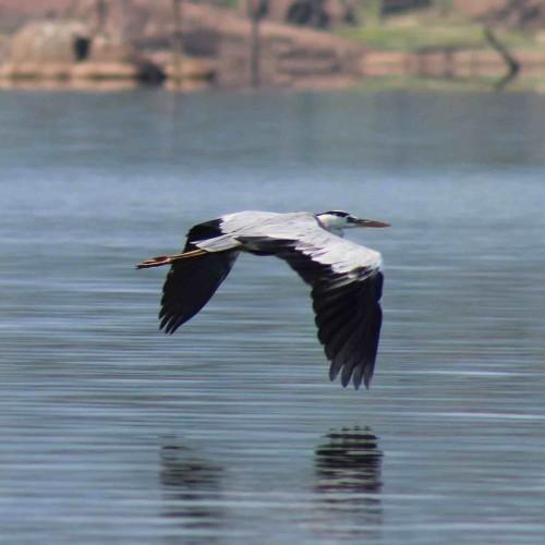 Heron flying low over Senanayake Samudra, Gal Oya National Park Sri Lanka