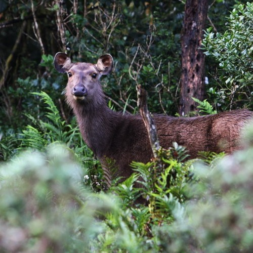 Sambar deer, Horton Plains, Sri Lanka