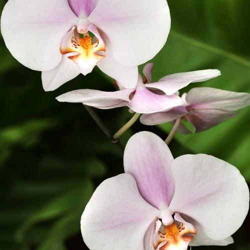 Orchid flowers, Sri Lanka