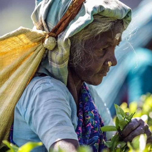 Tea picker around Madulkelle Tea & Eco Lodge, Knuckles, Sri Lanka