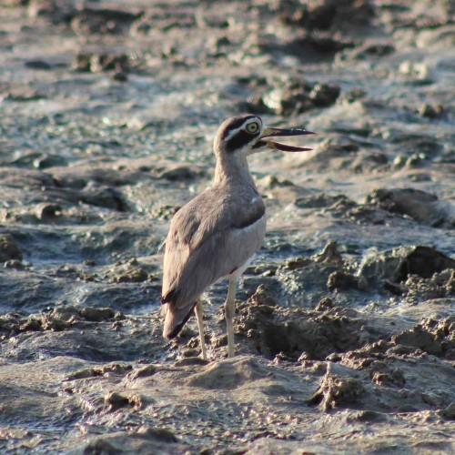 Bird on mudflats, Sri Lanka