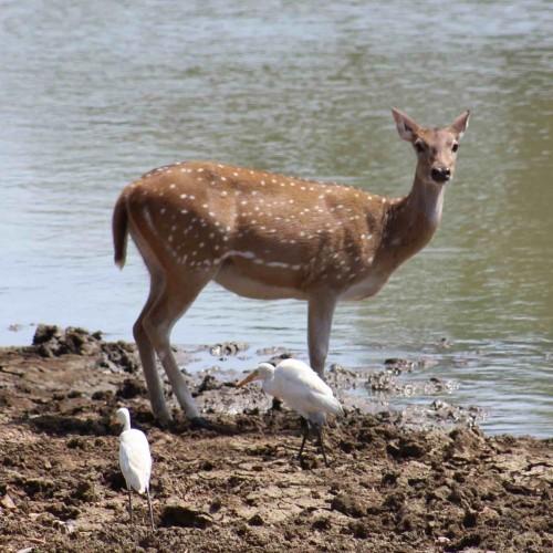 Spotted deer with egrets, Sri Lanka