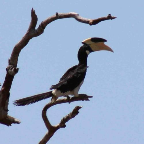 Malabar Pied Hornbill, Sri Lanka