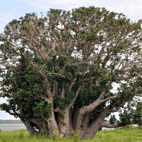 Baobab tree, Mannar, Sri Lanka