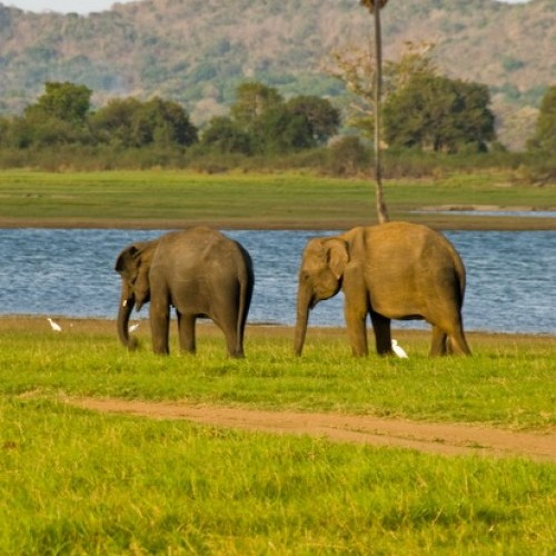 Elephants and egrets, Minneriya National Park, Sri Lanka