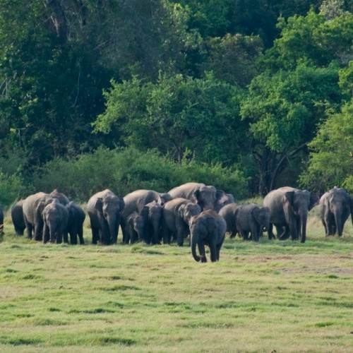 Large elephant herd, Minneriya National Park, Sri Lanka