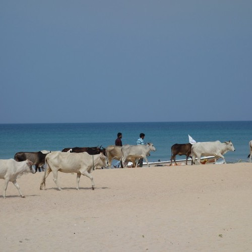 Nilaveli beach and cows, Sri Lanka