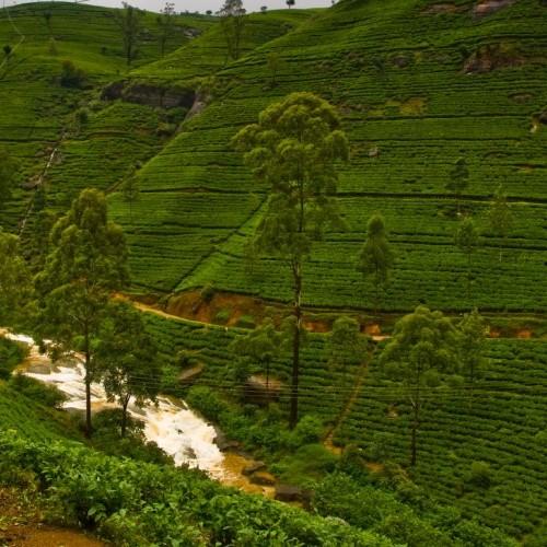 Tea plantations and river, Nuwara Eliya, Hill Country, Sri Lanka