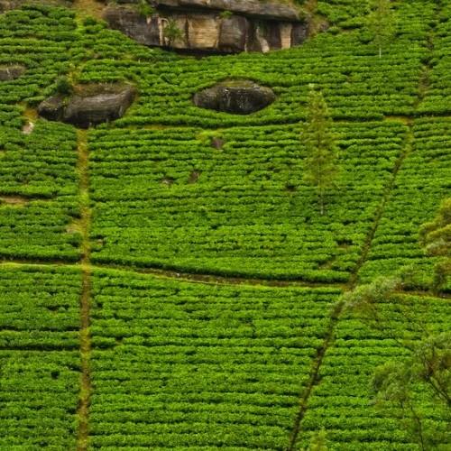 Tea plantations, Nuwara Eliya, Hill Country, Sri Lanka