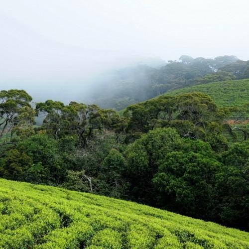Tea plantation, Sinharaja Biosphere Reserve around The Rainforest Ecolodge, Sinharaja, Sri Lanka