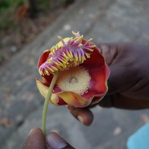 Exotic flower in the hand, Sri Lanka
