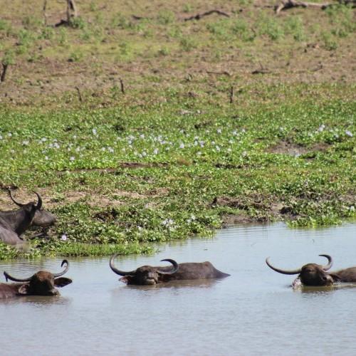 Water buffaloes in a waterhole, Sri Lanka