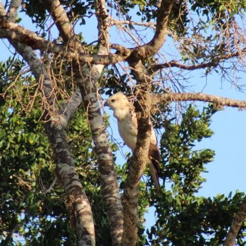 Juvenile eagle perched in a tree, Sri Lanka