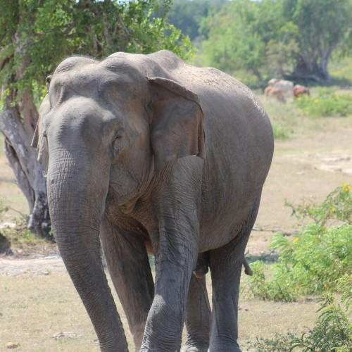 Mature bull elephant, Sri Lanka