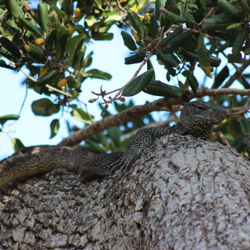 Land monitor lizard up a tree, Sri Lanka