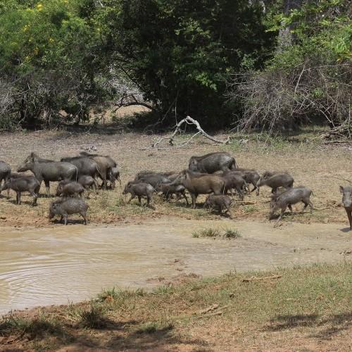 Herd of wild boar at a waterhole, Sri Lanka