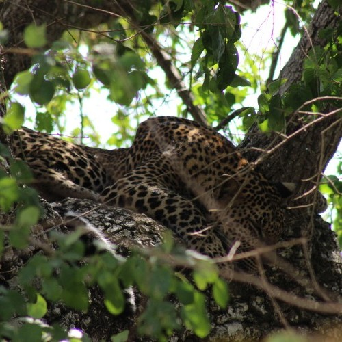 Yala and Wilpattu National Parks are famous for leopards, Sri Lanka