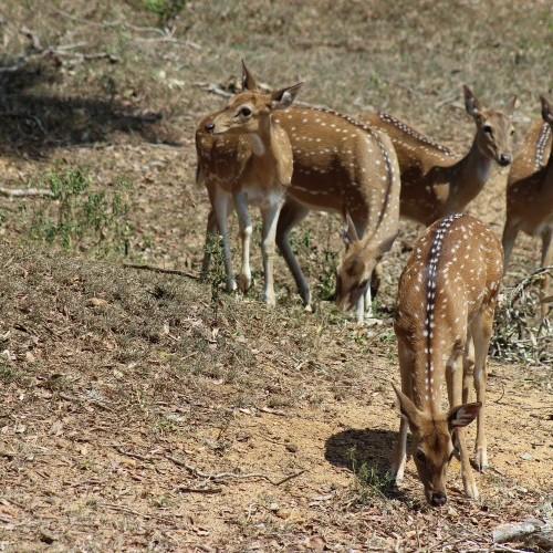 Herd of spotted deer, Sri Lanka