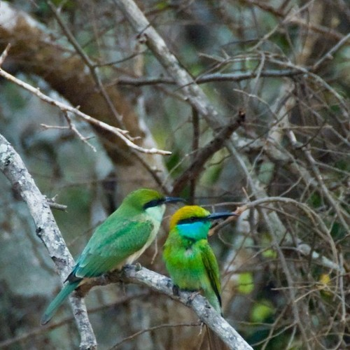 A pair of Little Green Bee-eaters in a tree, Sri Lanka