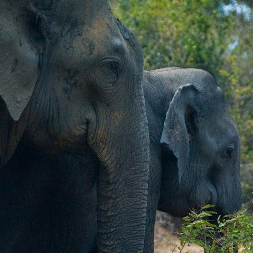 Gentle expression on an elephant's face, Sri Lanka