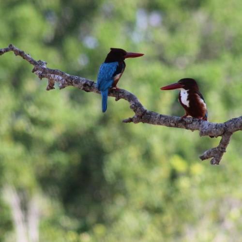 Perching Kingfishers, Sri Lanka