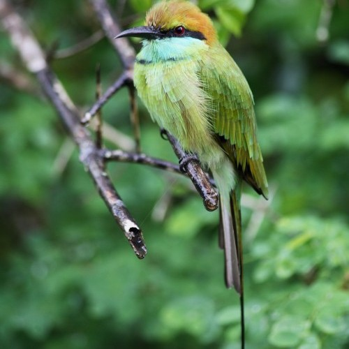 Little Green Bee eater, Yala National Park, Sri Lanka