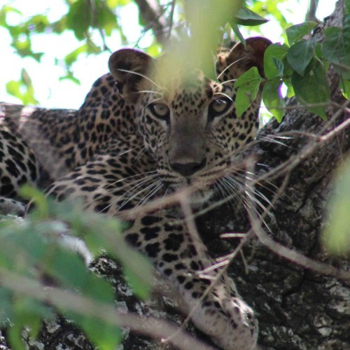 Leopard resting up a tree, Yala West National Park, Sri Lanka