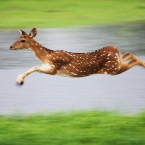 Leaping spotted deer, Yala National Park, Sri Lanka