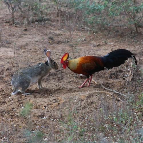 The Odd Couple, cock and hare, Sri Lanka