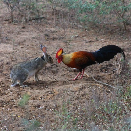 Face off between Sri Lanka Junglefowl and wild hare, Yala West National Park, Sri Lanka