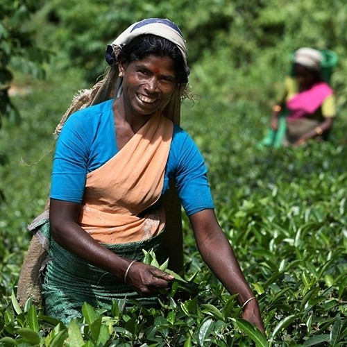 Tea picking in the Hill Country, Sri Lanka