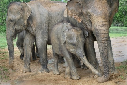 Family group of elephants, Yala West National Park, Sri Lanka